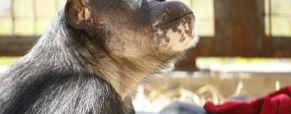Chimpanzees: Before, During, and After Experimental Use