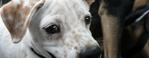 Puppy Mills: Laws To Protect Pups and Purchasers